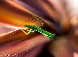 Small Prey mantis