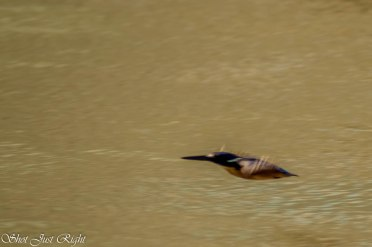 In Flight and diving - Azure Kingfisher