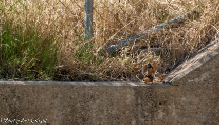 Not One but two Azure Kingfisher( wish I could have got closer)