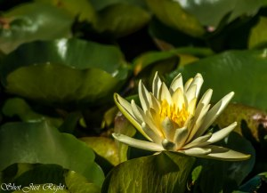 Water Lily at Gunbower