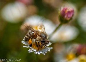 Bee feasting on a seaside Daisy