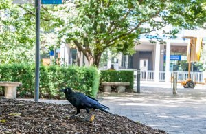 Raven in Suburbia - University of Melbourne