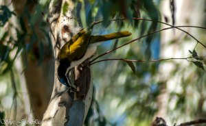 Blue Faced Honey Eater