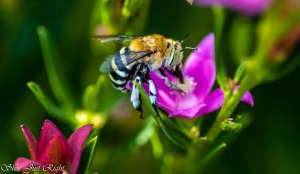 Blue Striped Native Bee