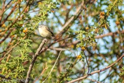 Tiny Yellow Thornbill