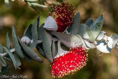 Rose Mallee (Eucalyptus Rhodantha) most gorgeous flower around