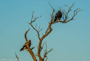 Wedged Tail Eagles near Hay
