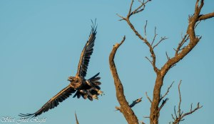 Wedged Tail Eagle in Flight