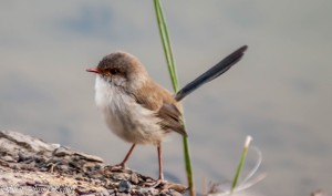 Female Superb Fairy Wren