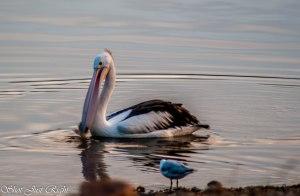 Pelican at Dusk.