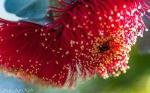 Bee visiting Rose Mallee(Eucalyptus Rhodanthas)