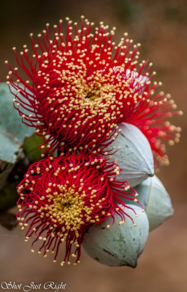 Amazingly beautiful flowers Rose Mallee(Eucalyptus Rhodanthas)