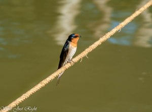 Swallow on a Rope