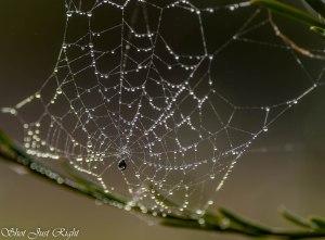 Pearly webb