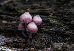 Pink Fungii