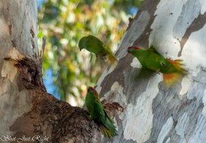 Argument - little Parakeets