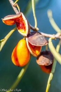 Weeping Pittosporum(native Apricot)