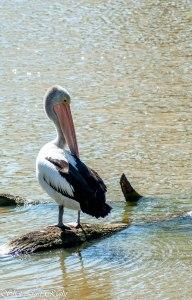 Pelican, preening.