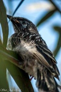 Young  Wattle Bird