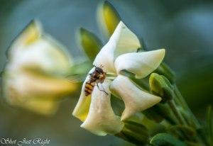 Native Frangipani and hover fly