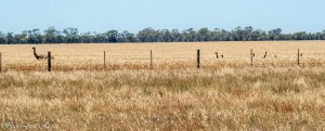 Little heads above the grain, Emus